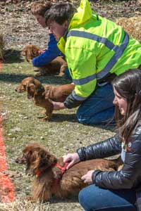 Hermann Wurstfest Wiener Dog Derby