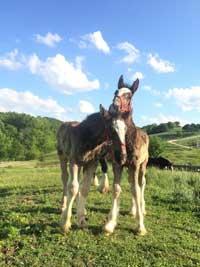 hermann-farm-foals